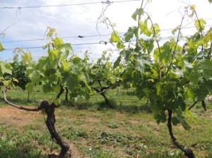 Vigne Cognac Matha - vignoble Vincent