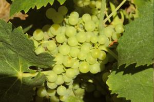 lutte raisonnée de la vigne