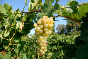 vendanges 2013 Vignoble Vincent