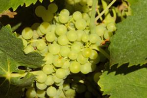 raisin vigne Vignoble Vincent