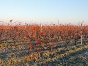 automne Vignoble-Vincent