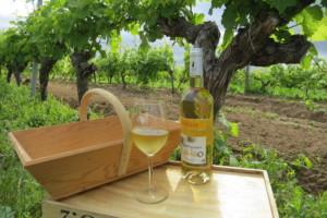 Le Sauvignon l'Elégant dans les vignes