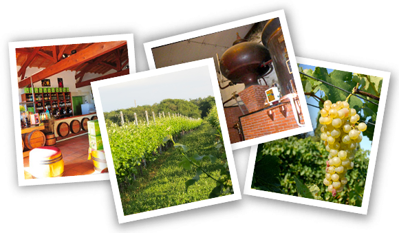 photos Vignoble Vincent