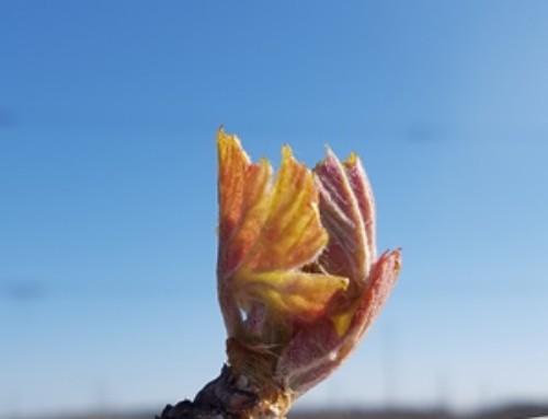 C'est le printemps au Vignoble Vincent