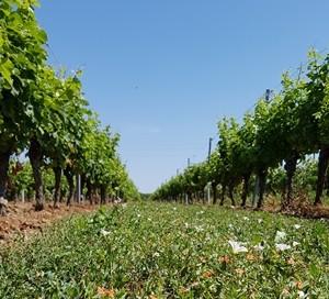 Vignes été et fleurs sauvages