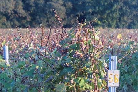 vignoble vincent automne